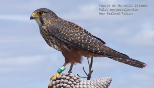 Faucon de Nouvelle-Zélande - Falco novaeseelandiae - New Zealand Falcon
