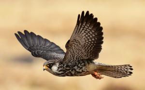 Faucon de l'Amour - Falco amurensis - Amur Falcon