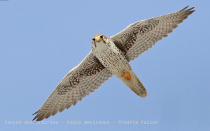 Faucon des prairies - Falco mexicanus - Prairie Falcon