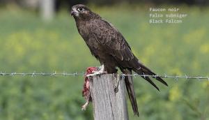 Faucon noir - Falco subniger - Black Falcon