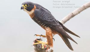 Faucon orangé - Falco deiroleucus - Orange-breasted Falcon