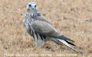 Faucon sacre - Falco cherrug - Saker Falcon