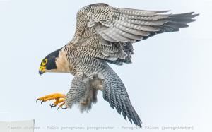 Faucon shaheen - Falco peregrinus peregrinator - Peregrine Falcon (peregrinator)