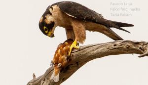 Faucon taita - Falco fasciinucha - Taita Falcon