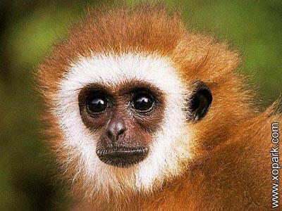 Gibbon - Hylobatidae - Hylobates, Nomascus et Hoolock