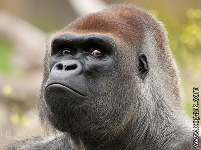 Gorille - Gorilla - Gorilla beringei - Hominidés - Hominidae