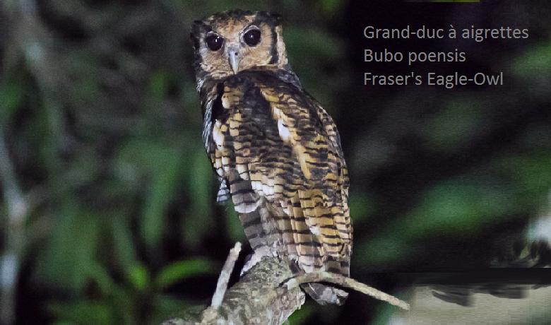Grand-duc à aigrettes - Bubo poensis - Fraser's Eagle-Owl