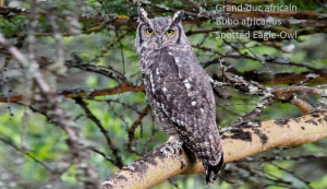 Grand-duc africain - Bubo africanus - Spotted Eagle-Owl