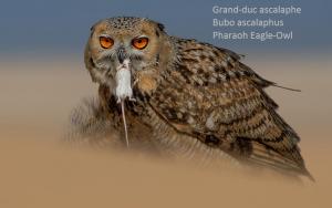 Grand-duc ascalaphe - Bubo ascalaphus - Pharaoh Eagle-Owl