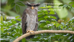 Grand-duc bruyant - Bubo sumatranus - Barred Eagle-Owl