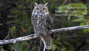 Grand-duc d'Amérique - Bubo virginianus - Great Horned Owl