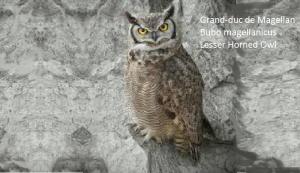 Grand-duc de Magellan - Bubo magellanicus - Lesser Horned Owl