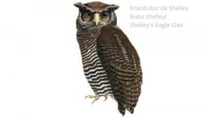 Grand-duc de Shelley - Bubo shelleyi - Shelley's Eagle-Owl