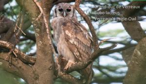 Grand-duc de Verreaux - Bubo lacteus - Verreaux's Eagle-Owl