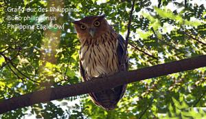 Grand-duc des Philippines - Bubo philippensis - Philippine Eagle-Owl