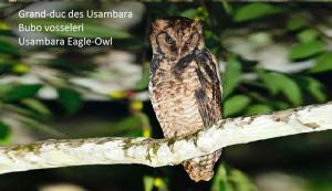 Grand-duc des Usambara - Bubo vosseleri - Usambara Eagle-Owl