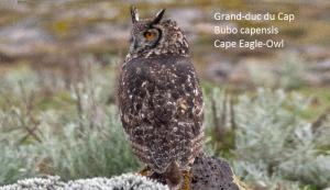 Grand-duc du Cap - Bubo capensis - Cape Eagle-Owl