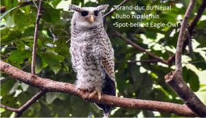Grand-duc du Népal - Bubo nipalensis - Spot-bellied Eagle-Owl