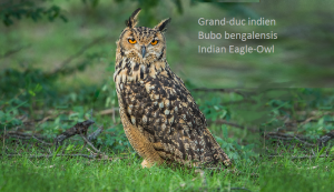 Grand-duc indien - Bubo bengalensis - Indian Eagle-Owl