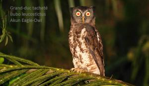 Grand-duc tacheté - Bubo leucostictus - Akun Eagle-Owl