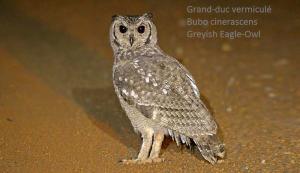 Grand-duc vermiculé - Bubo cinerascens - Greyish Eagle-Owl