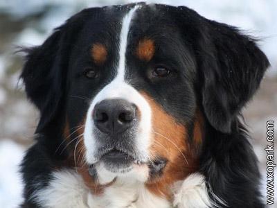 Grosser Schweizer sennenhund, Grand bouvier suisse, Grosser Schweizer Sennenhund, Greater Swiss Mountain Dog