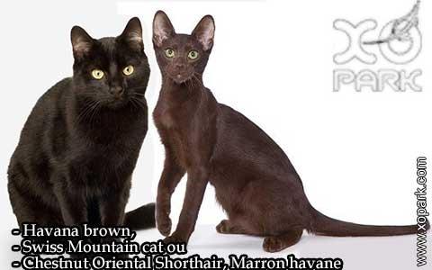Havana-brown,Swiss-Mountain-catouChestnut-Oriental-Shorthair,Marron-havane-02—xopark-