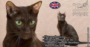 Havana brown,Swiss Mountain catouChestnut Oriental Shorthair,Marron havane