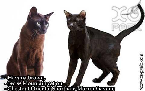 Havana-brown,Swiss-Mountain-catouChestnut-Oriental-Shorthair,Marron-havane—xopark-01