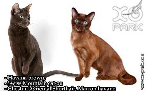 Havana-brown,Swiss-Mountain-catouChestnut-Oriental-Shorthair,Marron-havane—xopark-04