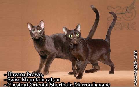 Havana-brown,Swiss-Mountain-catouChestnut-Oriental-Shorthair,Marron-havane—xopark-05