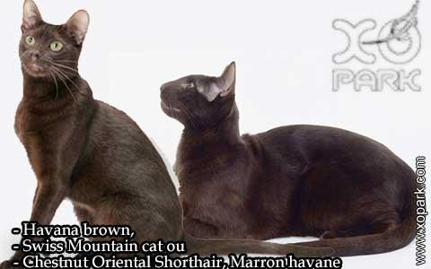 Havana-brown,Swiss-Mountain-catouChestnut-Oriental-Shorthair,Marron-havane—xopark-06