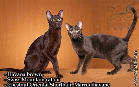 Havana-brown,Swiss-Mountain-catouChestnut-Oriental-Shorthair,Marron-havane—xopark-07