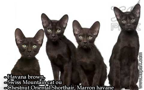 Havana-brown,Swiss-Mountain-catouChestnut-Oriental-Shorthair,Marron-havane—xopark-08
