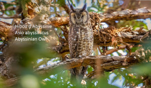 Hibou d'Abyssinie - Asio abyssinicus - Abyssinian Owl