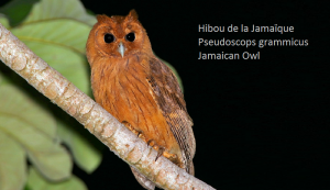 Hibou de la Jamaïque - Pseudoscops grammicus - Jamaican Owl