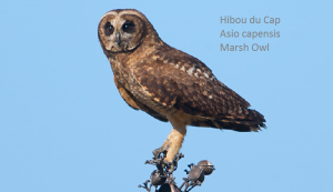 Hibou du Cap - Asio capensis - Marsh Owl