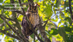 Hibou malgache - Asio madagascariensis - Madagascan Owl