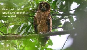 Hibou redoutable - Nesasio solomonensis - Fearful Owl