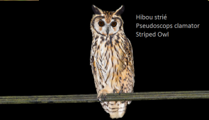Hibou strié - Pseudoscops clamator - Striped Owl