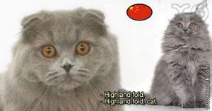 Highland fold,Highland fold cat
