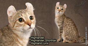 Highlander - Highlander Shorthair - Highland Lynx