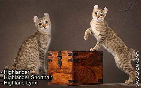 Highlander – Highlander Shorthair – Highland Lynx – xopark-1