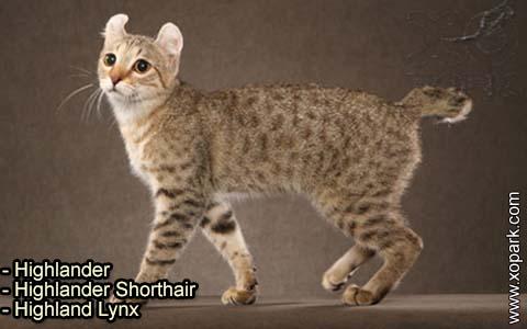 Highlander – Highlander Shorthair – Highland Lynx – xopark-2