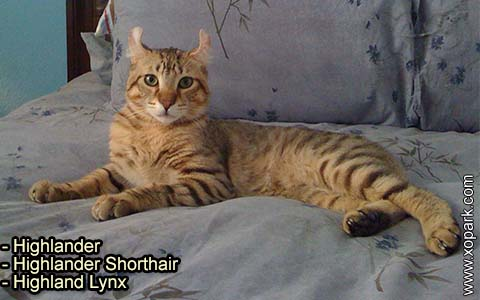 Highlander – Highlander Shorthair – Highland Lynx – xopark-4