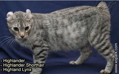 Highlander – Highlander Shorthair – Highland Lynx – xopark-7