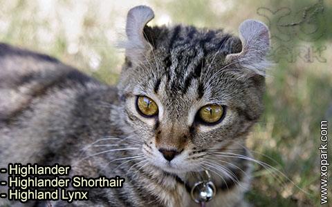 Highlander – Highlander Shorthair – Highland Lynx – xopark-8