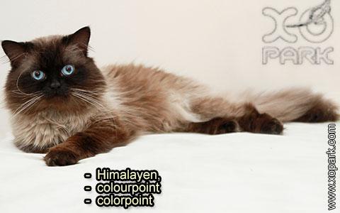 Himalayen,colourpointoucolorpoint – xopark-1