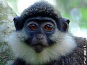 Hocheur - cercopithèques - Throated guenon - Cercopithecus