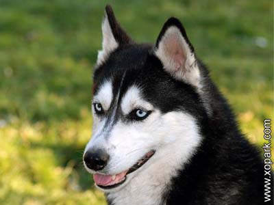 Husky sibérien - Husky de Sibérie - Siberian Husky - Chukcha - Chuksha